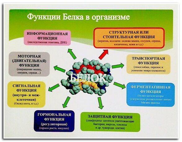 функции белка в организме